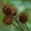 Burdock, Lesser (Arctium minus), packet of 30 seeds