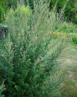 Mugwort, Common (Artemisia vulgaris), packet of 200 seeds
