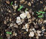 Ashwagandha, Vedic (Withania somnifera), packet of 100 seeds, organic