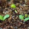 Astragalus (Astragalus membranaceus), packet of 50 seeds, organic