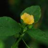 Bala (Sida cordifolia), packet of 30 seeds, organic