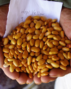 Bean, Hopi Yellow (Phaseolus vulgaris) packet of 20 seeds, organic