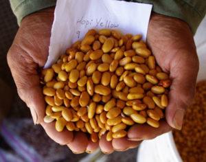 Bean, Hopi Yellow (Phaseolus vulgaris) packet of 20 seeds, organic
