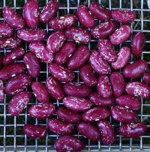 Bean, Madiera Maroon (Phaseolus vulgaris), packet of 20 seeds, organic