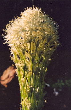 Bear Grass (Xerophyllum tenax), packet of 50 seeds