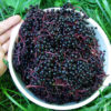 Elderberry, Black (Sambucus nigra) packet of 50 seeds, organic