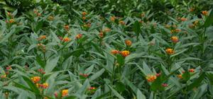 Bloodflower (Asclepias curassavica), packet of 50 seeds