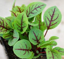Dock, Red-Veined (Rumex sanguineus) packet of 100 seeds, organic