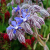 Borage (Borago officinalis), packet of 50 seeds, organic