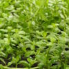 Brahmi (Bacopa monnieri), packet of 30 seeds, organic