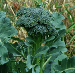 Broccoli, Green Sprouting De Cicco (Brassica oleracea), packet of 300 seeds, organic