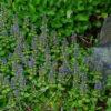 Bugle (Ajuga reptans), packet of 20 seeds
