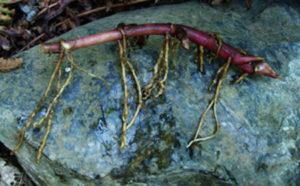 Butterbur Live Root (Petasites palmatus), organic