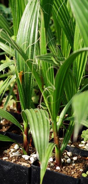 Palm, Desert Fan (Washingtonia filifera), packet of 10 seeds