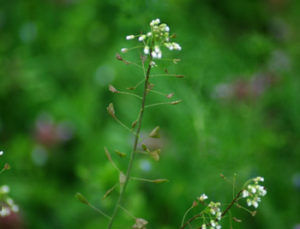 Shepherd's Purse (Capsella bursa-pastoris), packet of 100 seeds, organic