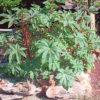 Castor, Zanzibar Red (Ricinus communis sanguineus), packet of 5 seeds