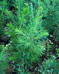 Cedar of Lebanon (Cedrus libani) packet of 10 seeds