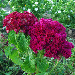 Cock's Comb (Celosia cristata), packet of 100 seeds, organic