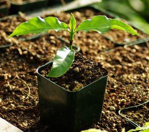 Chacruna, Broadleaf (Psychotria viridis) potted plant, organic