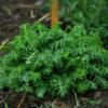 Chamomile, Saint John's (Anthemis sancti-johannis), packet of 50 seeds