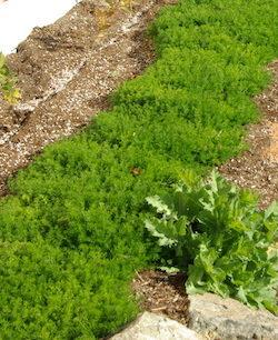Chamomile, Roman (Chamaemelum nobile), packet of 300 seeds, organic