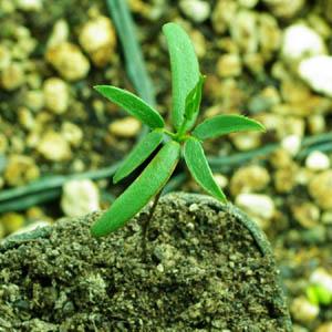 Chaparral (Larrea tridentata), packet of 50 seeds