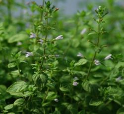 Calamint, Showy (Clinopodium grandiflorum), packet of 30 seeds, Organic