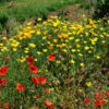 Poppy, California Organic (Eschscholzia californica), packet of 100 seeds, organic