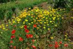 Poppy, California Organic (Eschscholzia californica), packet of 100 seeds, organic