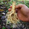 Dang-shen, pilosula (Codonopsis pilosula), packet of 50 seeds, organic