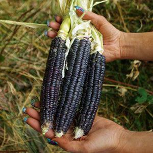 Corn, Black Aztec (Zea mays), packet of 50 seeds, organic