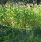 Corn, Country Gentleman (Zea mays), packet of 50 seeds, organic