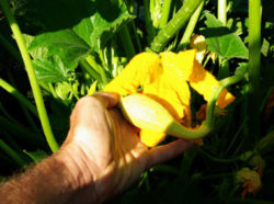 Squash, Yellow Crookneck, packet of 30 seeds, organic