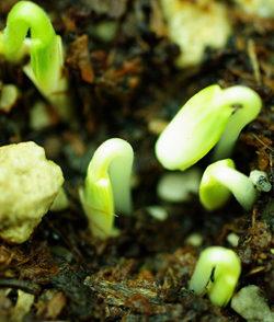 Cucumber, Pickling (Emperor Alexander), packet of 30 seeds, organic