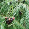 Curry Leaf Tree (Murraya koenigii) packet of 5 seeds, organic (USA ONLY)