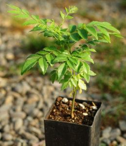 Curry-Leaf Tree (Murraya koenigii) potted seedling, organic