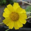 Marigold, Desert (Baileya multiradiata), packet of 100 seeds