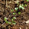 Radish, Daikon, Miyashege White (Raphanus sativus), packet of 100 seeds, Organic