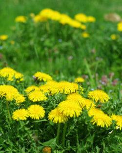 Survival Medicine Garden Seed Collection, Organic