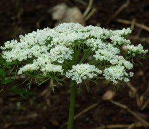 Dang-gui (Angelica sinensis), packet of 20 seeds, Organic