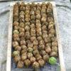 Datura, Jimson Weed (Datura stramonium), packet of 50 seeds, organic