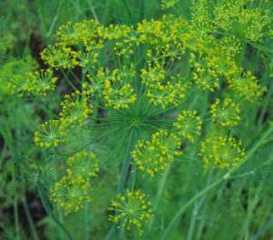 Dill, Greensleeves (Anethum graveolens), packet of 100 seeds, organic
