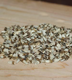 Echinacea angustifolia, Black Hills Ecotype, packet of 30 seeds