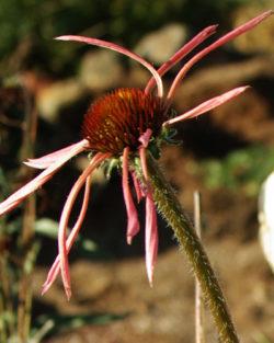 Echinacea sanguinea, packet of 20 seeds, organic