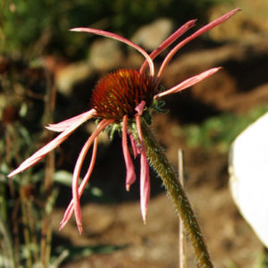 Echinacea sanguinea, packet of 20 seeds, organic