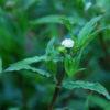 Eclipta (Eclipta alba), packet of 50 seeds, organic