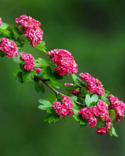 Hawthorn, English (Crataegus oxyacantha/laevigata) potted tree