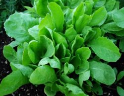 Escarole, Great Batavian (Cichorium endiva), packet of 200 seeds, organic