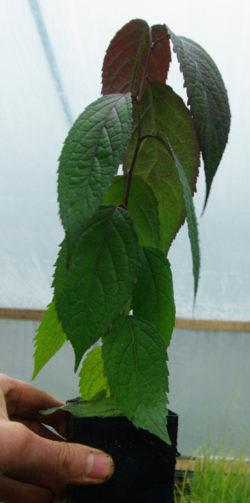 Eucommia (Du-zhong) (E. ulmoides), potted tree, organic