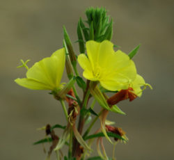Evening Primrose (Oenothera biennis), packet of 100 seeds, organic